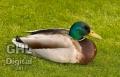 20050524 001 Mallard Duck (Wm)