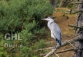 20050723 002 Heron (Wm)