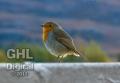 20051105 001 Robin (Wm)