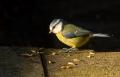 20051113 002 Blue Tit (Lo)
