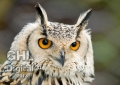 20070204 001 Eagle Owl (Wm)