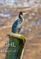 20080303 001 Cormorant (Wm)
