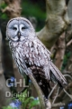 20080511 001 Grey Owl (Wm)