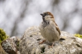 20150321 001 House Sparrow (Wm)