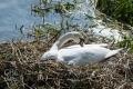 20160508 001 Nesting Swan (Wm)