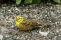 20170617 002 Yellowhammer (Wm)