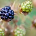 20110808 001 Black Berry (Wm)