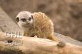 20050612 001 Baby Meerkat (Wm)
