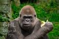20050612 001 Gorilla (Wm)