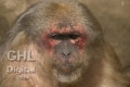 20050612 001 Snow Monkey (Wm)