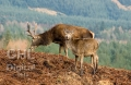 20060103 001 Glen Etive Deer (Wm)