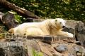20060702 001 Polar Bear (Wm)