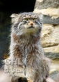 20060716 001 Pallas Cat (Wm)