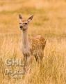 20060813 001 Baby Deer (Wm)
