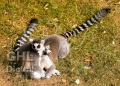 20060813 001 Ring Tailed Lemur (Wm)