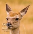 20060813 002 Baby Deer (Wm)