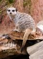 20060813 002 Meerkat (Wm)