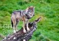 20061105 001 Wolf (Wm)