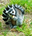 20080425 001 Ring Tailed Lemur (Wm)