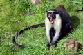 20100509 001 Diana Monkey (Wm)