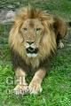 20100808 001 Lion (Wm)