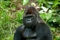 20100811 001 Gorilla (Wm)