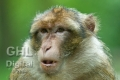 20110808 002 Barbary Macaques (Wm)