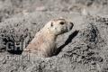 20120810 001 Prairie Dog (Wm)