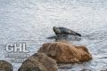 20121005 001 Grey Seal (Wm)