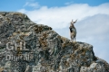 20130706 001 Mountain Goat (Wm)