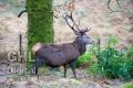 20131228 002 Glen Etive Deer (Wm)