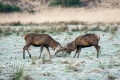 20150103 001 Glen Etive Deer Tussle (Wm)