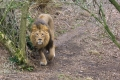 20150228 001 Asiatic Lion (Wm)