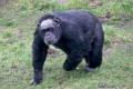 20150228 001 Chimpanzee (Wm)