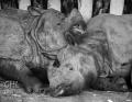 20150228 001 One-horned Rhinoceros (Wm)