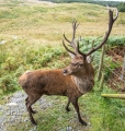 20150920 001 Galloway Stag (Wm)