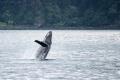 20160810 001 Hump Back Whale (Wm)